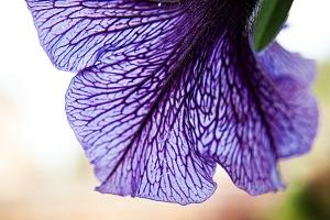 flower-purple1