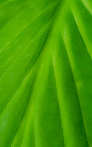 Green Leaf1a