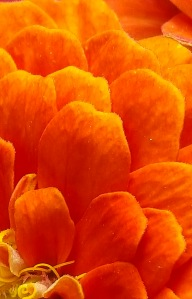 Orange Petals1