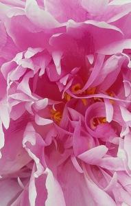 Pink swirly flower