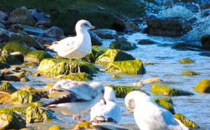 Seagulls at Niagara