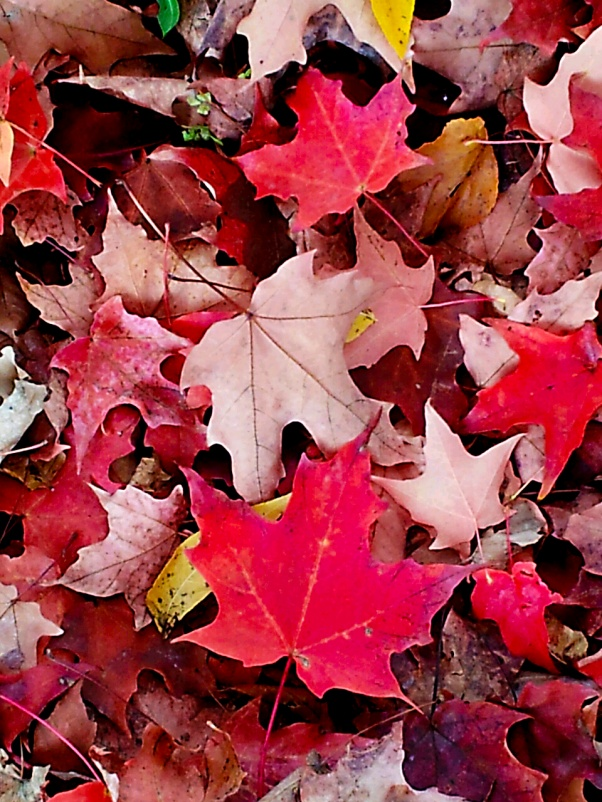 Maple Leaf pile