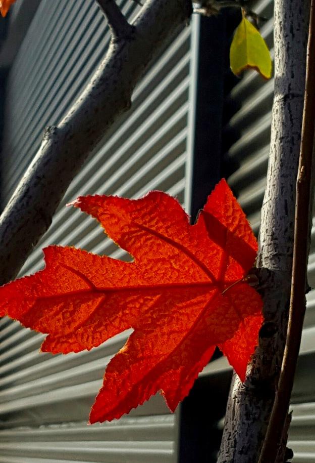 Orange Backlit Leaf