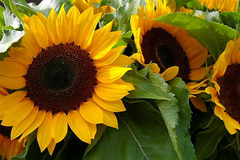 Market Sunflowers
