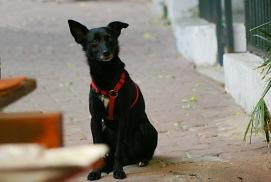 Black Dog - Turkey