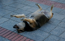 Sleeping Dog Istanbul