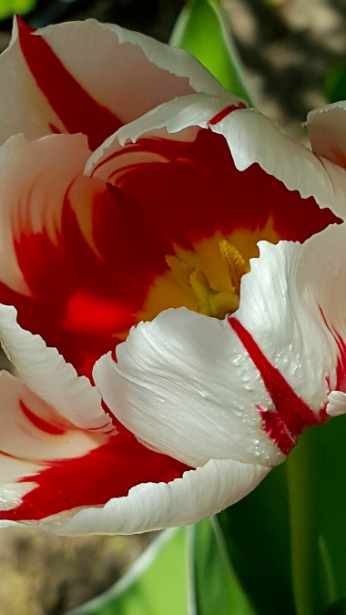 Red White Swirl Tulip