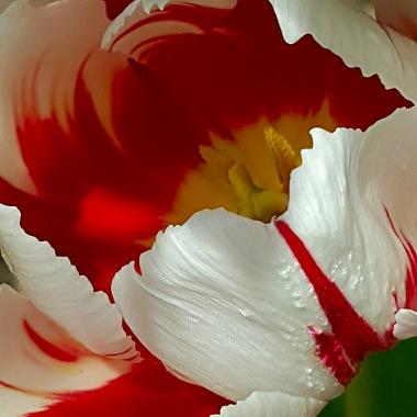 Red White Swirl Tulip