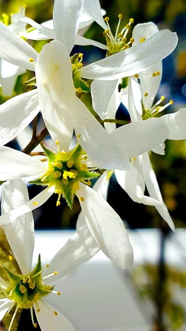 White Star Blossom